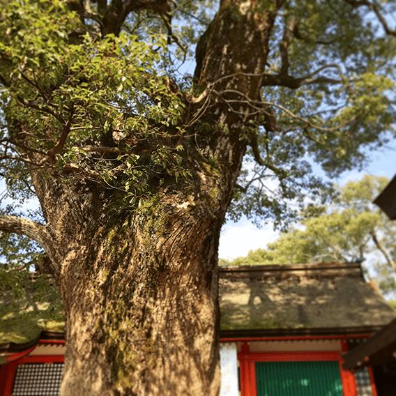 本殿にある御神木の画像