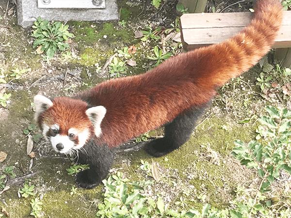 到津の森公園にいるレッサーパンダの画像