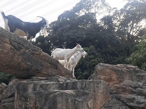 到津の森公園にいるヤギの画像